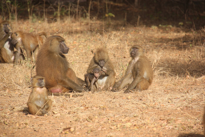 Guinea baboons (Papio papio) at the DPZ field station Simenti in Senegal. Photo: Julia Fischer