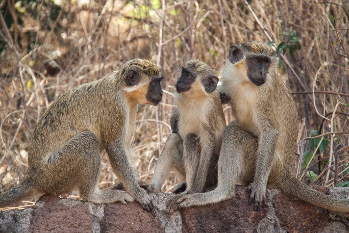 Three West African green monkeys (Chlorocebus sabaeus) at the field station Simenti in Senegal. Photo: Tabitha Price