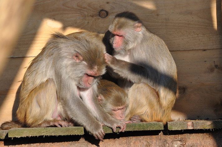 Macaques at the primate husbandry of the German Primate Center. Photo: Karin Tilch